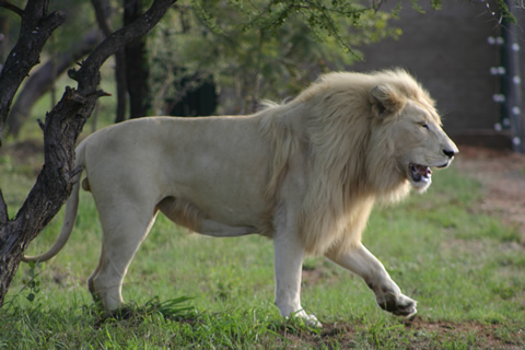 http://www.mafunyane.com/gallery/animals/white_lion01.jpg